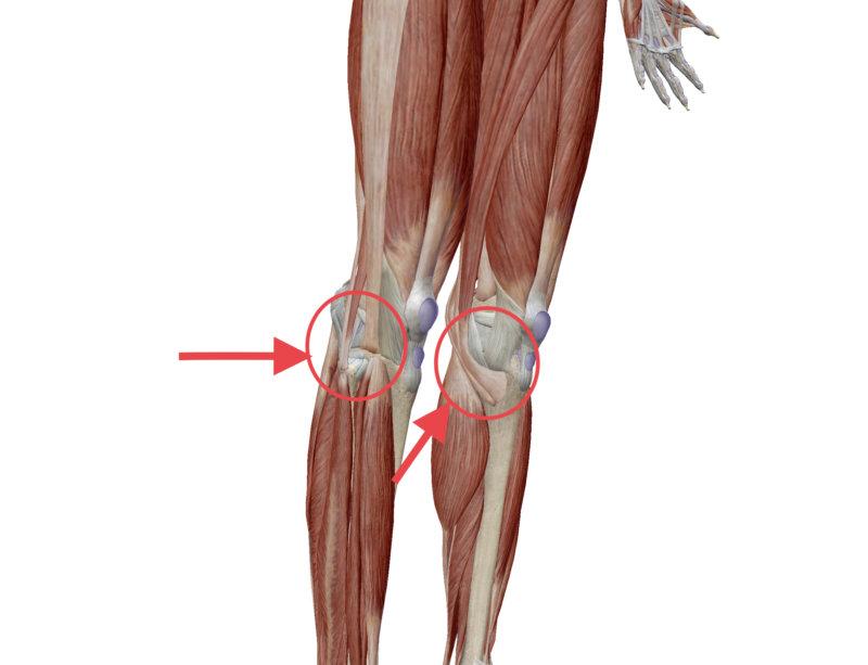 膝周りの解剖図